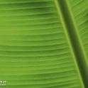 Banane - La Palma - 2001 - © Auriga/LOOK 22